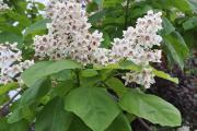 Фото 24 Катальпа: полезные свойства и как с ее помощью преобразить свой сад до неузнаваемости?