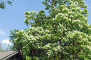Фото 28 Катальпа: полезные свойства и как с ее помощью преобразить свой сад до неузнаваемости?
