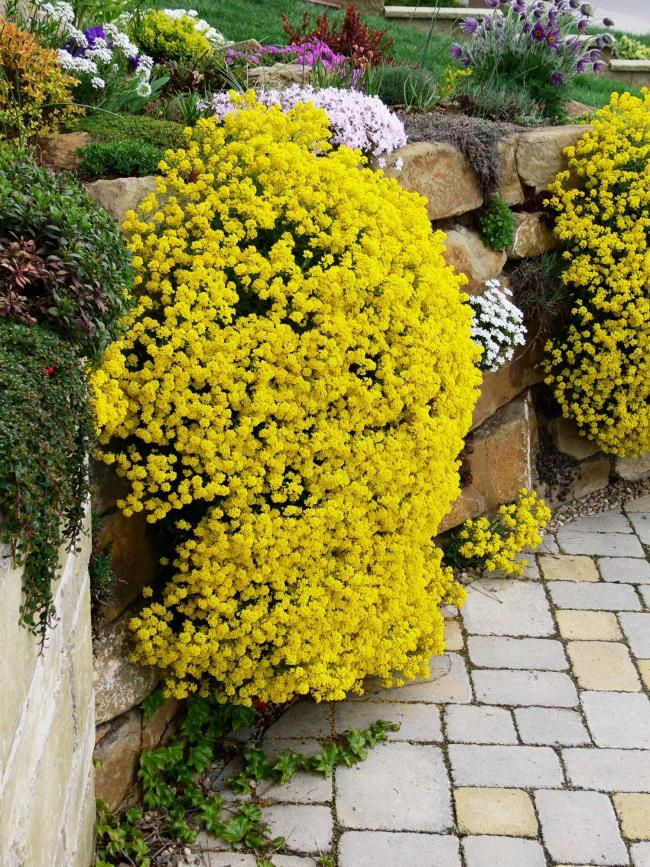 Алиссум не только украсит ваш сад, но и наполнит его приятным ароматом