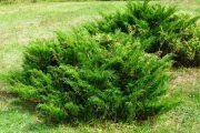 Фото 6 Казацкий можжевельник: популярные сорта и все тонкости посадки, ухода, лечения