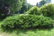 Фото 11 Казацкий можжевельник: популярные сорта и все тонкости посадки, ухода, лечения