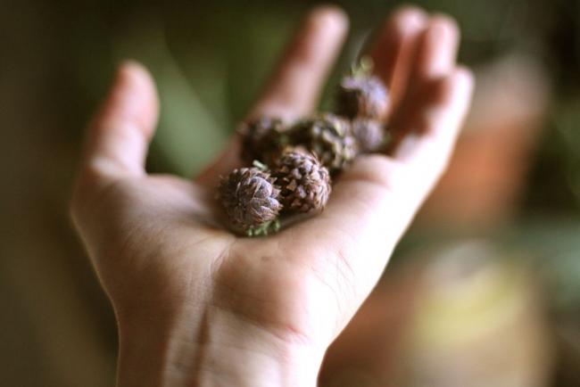 Плоды хвойного кустарника