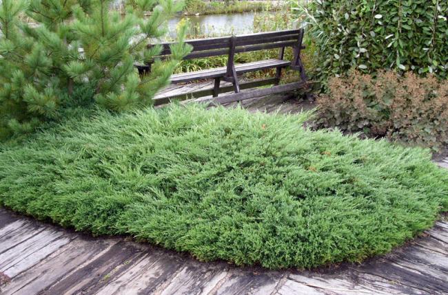 Красивый аккуратный кустарник в домашнем саду