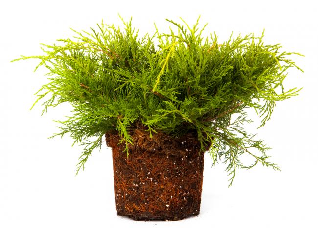 Быстро укореняющееся растение хорошо приживется на домашней клумбе