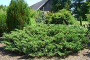 Фото 23 Казацкий можжевельник: популярные сорта и все тонкости посадки, ухода, лечения