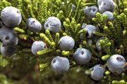 Фото 2 Казацкий можжевельник: популярные сорта и все тонкости посадки, ухода, лечения