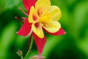 Фото 6 Аквилегия в садовом дизайне: посадка, уход и выращивание многолетника