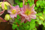 Фото 17 Аквилегия в садовом дизайне: посадка, уход и выращивание многолетника