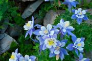Фото 20 Аквилегия в садовом дизайне: посадка, уход и выращивание многолетника