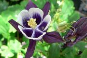 Фото 23 Аквилегия в садовом дизайне: посадка, уход и выращивание многолетника