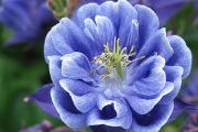 Фото 24 Аквилегия в садовом дизайне: посадка, уход и выращивание многолетника