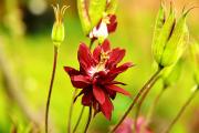 Фото 25 Аквилегия в садовом дизайне: посадка, уход и выращивание многолетника