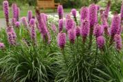 Фото 1 Цветущие свечи для вашего сада: сорта лиатриса и тонкости ухода за многолетником