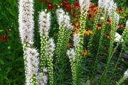 Фото 6 Цветущие свечи для вашего сада: сорта лиатриса и тонкости ухода за многолетником