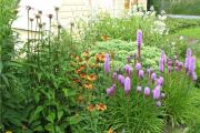 Фото 8 Цветущие свечи для вашего сада: сорта лиатриса и тонкости ухода за многолетником