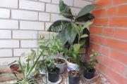 Фото 10 Мушмула: полезные свойства и как вырастить в домашних условиях?
