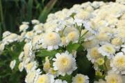 Фото 1 Достойное пополнение вашей клумбы: матрикария и все, что нужно знать о ее выращивании