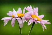 Фото 2 Достойное пополнение вашей клумбы: матрикария и все, что нужно знать о ее выращивании