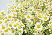 Фото 5 Достойное пополнение вашей клумбы: матрикария и все, что нужно знать о ее выращивании