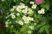 Фото 6 Достойное пополнение вашей клумбы: матрикария и все, что нужно знать о ее выращивании