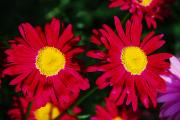 Фото 7 Достойное пополнение вашей клумбы: матрикария и все, что нужно знать о ее выращивании