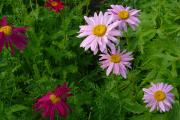 Фото 8 Достойное пополнение вашей клумбы: матрикария и все, что нужно знать о ее выращивании