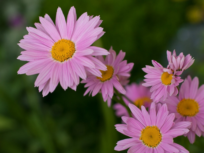 Нежно-розовый цветок пиретрум