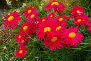 Фото 9 Достойное пополнение вашей клумбы: матрикария и все, что нужно знать о ее выращивании