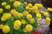 Фото 10 Достойное пополнение вашей клумбы: матрикария и все, что нужно знать о ее выращивании