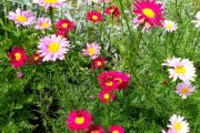 Фото 11 Достойное пополнение вашей клумбы: матрикария и все, что нужно знать о ее выращивании