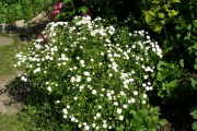 Фото 12 Достойное пополнение вашей клумбы: матрикария и все, что нужно знать о ее выращивании