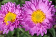Фото 14 Достойное пополнение вашей клумбы: матрикария и все, что нужно знать о ее выращивании