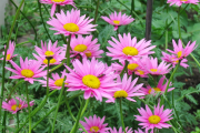 Фото 15 Достойное пополнение вашей клумбы: матрикария и все, что нужно знать о ее выращивании