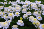 Фото 16 Достойное пополнение вашей клумбы: матрикария и все, что нужно знать о ее выращивании
