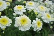 Фото 17 Достойное пополнение вашей клумбы: матрикария и все, что нужно знать о ее выращивании