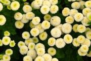 Фото 18 Достойное пополнение вашей клумбы: матрикария и все, что нужно знать о ее выращивании