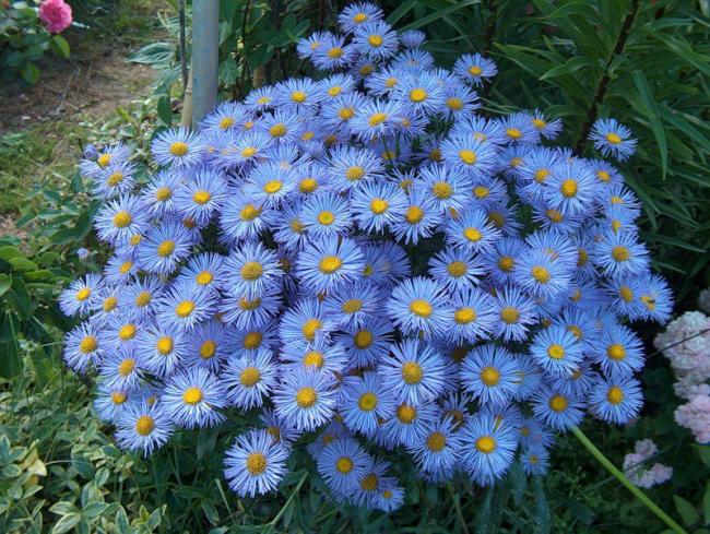 Пушистый многолетник голубого цвета украсит сад