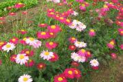 Фото 22 Достойное пополнение вашей клумбы: матрикария и все, что нужно знать о ее выращивании