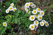 Фото 23 Достойное пополнение вашей клумбы: матрикария и все, что нужно знать о ее выращивании