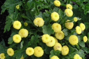 Фото 25 Достойное пополнение вашей клумбы: матрикария и все, что нужно знать о ее выращивании