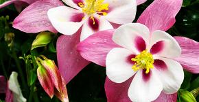 Аквилегия в садовом дизайне: посадка, уход и выращивание многолетника фото