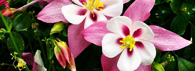 Аквилегия в садовом дизайне: посадка, уход и выращивание многолетника