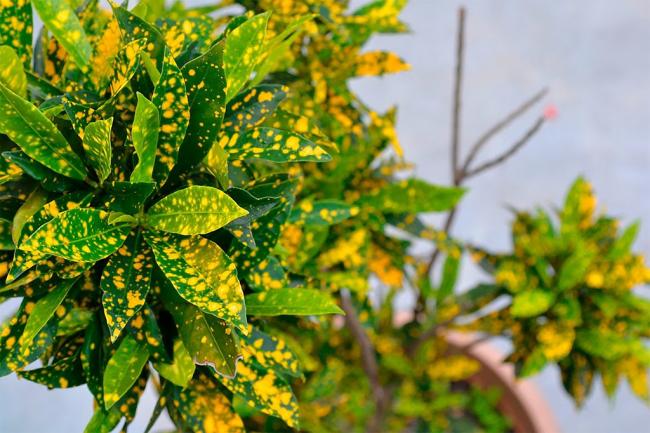 Красивая крупнолистовая культура с россыпью желтых пятен различного размера