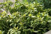Фото 4 «Золотое дерево» аукуба: пятнистое чудо на вашем подоконнике и секреты ухода за ним