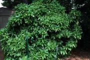 Фото 11 «Золотое дерево» аукуба: пятнистое чудо на вашем подоконнике и секреты ухода за ним