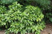 Фото 13 «Золотое дерево» аукуба: пятнистое чудо на вашем подоконнике и секреты ухода за ним