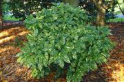 Фото 16 «Золотое дерево» аукуба: пятнистое чудо на вашем подоконнике и секреты ухода за ним