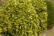 Фото 19 «Золотое дерево» аукуба: пятнистое чудо на вашем подоконнике и секреты ухода за ним