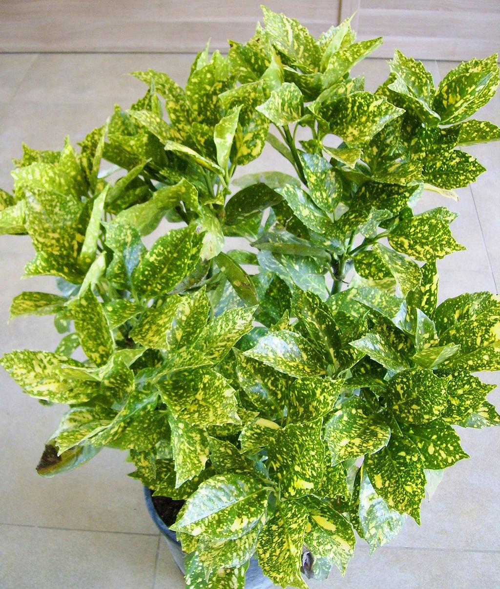 Цветок японская якуба фото