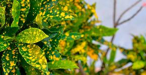 «Золотое дерево» аукуба: пятнистое чудо на вашем подоконнике и секреты ухода за ним фото